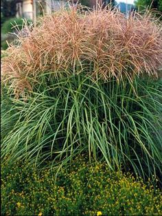 Tall variegated japanese silver ornamental maiden grass for Short variegated grass
