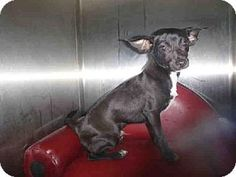 Los Angeles, CA - Chihuahua. Meet A1425446 a Puppy for Adoption.