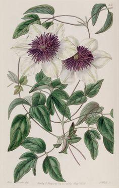 Clematis florida - circa 1838 Flower Art 70f07a3c69
