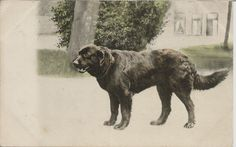LABRADOR RETRIEVER GUNDOG REAL PHOTOGRAPHIC DOG POSTCARD