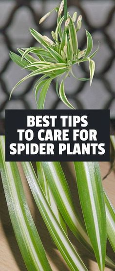 How to Care For Spider Plants (Chlorophytum Comosum) Learn exactly how to care for the spider plant one of the easiest and most forgiving houseplants to grow. The post How to Care For Spider Plants (Chlorophytum Comosum) appeared first on Outdoor Ideas. Outdoor Plants, Air Plants, Potted Plants, Garden Plants, Plants Indoor, Indoor Herbs, Cactus Plants, Flowering Plants, Gardening