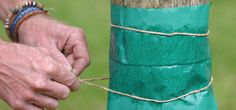 Using a grease band to prevent overwintering pests on fruit trees