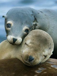 Love Share and Keep Smile — California sea lion moment love Cute Creatures, Beautiful Creatures, Animals Beautiful, Sea Creatures, Pretty Animals, Majestic Animals, Nature Animals, Animals And Pets, Wild Life Animals