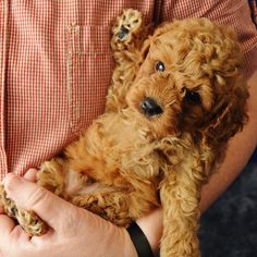 In this article, we will be discussing Goldendoodle grooming. We will outline the most important steps on how to groom a Goldendoodle, and we will even touch a little bit on Goldendoodle grooming styles. Chien Goldendoodle, Goldendoodle Grooming, Cockapoo, Goldendoodles, Labradoodles, Poodle Grooming, Dog Grooming, Goldendoodle Miniature, Cute Puppies