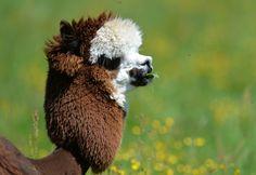 Alpacas são tosadas com cortes exóticos para enfrentar verão europeu - Fotos - R7 Bichos