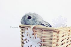 For those who are searching for a furry friend which is not just cute, but easy to keep, then look no further than a family pet rabbit. Mini Lop Bunnies, Funny Bunnies, Cute Bunny, Bunny Rabbits, Baby Bunnies, Rabbit Life, Pet Rabbit, Beautiful Creatures, Animals Beautiful