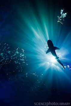 Shark under water ::   Credit: Unique Pic/Science Photo Library