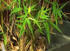 Entretenir et soigner ses bambous : Hubert le jardinier nous donne des conseils pratiques de jardinage pour les protéger.