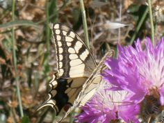 Thistle season brings out the butterflies...
