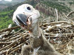 Cinereous Vulture, juv  By: Armenian Society for the Protection  of Birds (ASPB)