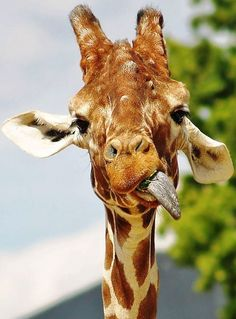 This giraffe wants to be Miley Cyrus!! Lol. Jk jk but that is hilarious!!