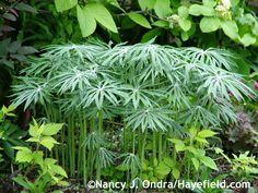 Syneilesis aconitifolia- Shredded Umbrella Plant - z4-8