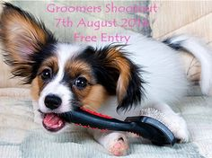 """A """"Groomers Shootout """" will take place this Thursday, the 7th August.    This is a fun event where abandoned dogs from Pets Haven Foundation will be groomed by professional groomers in a round robin contest.     The focus of the day is to find raise awareness for our shelter dogs.     The public and anyone considering adopting a pet in the near future are encouraged to attend, you will see some amazing dogs looking for """"forever """"homes.    Entry to the Shootout is FREE    When: Thursday"""