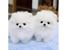 listing Quality Tea-Cup Pomeranian Puppies!! Tex... is published on Free Classifieds USA online Ads - http://free-classifieds-usa.com/for-sale/animals/quality-tea-cup-pomeranian-puppies-text434-248-4203_i36908