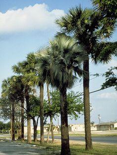 Sabal mexicana  Sabal mexicana Mart. Texas palm, Texas palmetto, Mexican palm, Mexican palmetto, Rio Grande palmetto, Victoria palmetto, Palma de micharos, Apachite Arecaceae (Palm Family) USDA Symbol: SAME8