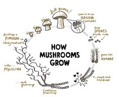 Introducing the Mush Chap Book for Oregon Mushroom Stories . Premiering at the Mush Fair in December it showcases five of our favo. Mushroom Hunting, Mushroom Art, Mushroom Fungi, Mushroom Crafts, Grow Your Own Mushrooms, Growing Mushrooms At Home, Illustration Inspiration, Mushroom Cultivation, Plant Science