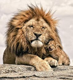 A magnificent father! ッ #Lions #BigCats pic.twitter.com/wKzSJkfQkf
