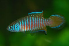 Simpsonichthys paralleles, a peat-spawning annual pearl killifish.