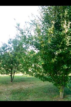 My actual orchard: Apple, Cherry, Peach and Pear trees...Planted almost 10 years ago from Amazing Fruit trees that I bought from www.starkbros.com