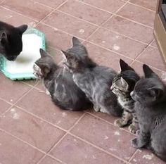 Such good kitties. They let mum drink the milk first.