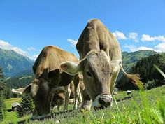 Free Photo: Cows Cow, Austria, Pasture, Sky - Free Image on Pixabay - 203460 Grazing Cow, Organic Meat, Cute Cows, Animal Facts, Mundo Animal, Rind, Livestock, Cattle Farming, Childhood