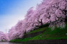 Here Are Japan's Beautiful Cherry Blossoms.