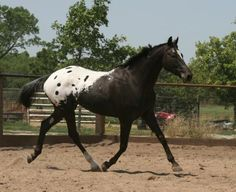 Appaloosa Horses for Sale | Sunbeach Honkytonk, Appaloosa Stallion in Oklahoma