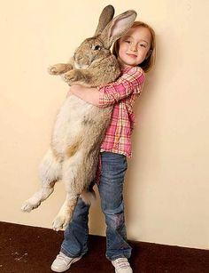 El conejo más grande del mundo mide un metro con 23 centímetros y pesa cerca de 20 kilos, se llama Ralph y está en el Libro de Récord Guinness.