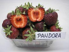 Jahody - sazenice - odrůda PANDORA