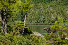 I had a request for a moose today, so here she is. This one was taken back in July of 2008 at Sandy Stream Pond in Baxster State Park in Maine. The moose was feeding on the nutrient rich vegetation...