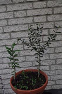 Mr. Greens Welt: Olivenbaum aus selbst geerneten Oliven gezogen