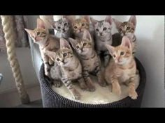 Hypnotized funny Kittens! Brilliant  @Carly Bartholomew, watch part 1 too