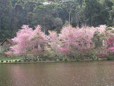 Cerejeiras ao redor do lago - Hotel Monte Verde - Castelinho - ES