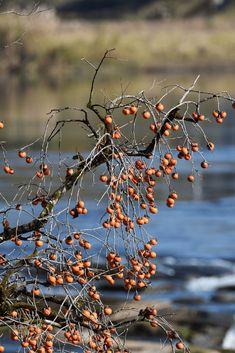 Des kaki à Sogi no taki, par Nippon100.  #japan #japon #fruits #kaki #tree #nature #orange #kagoshima #kyushu