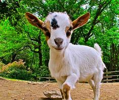 Google Image Result for http://www.travelandleisure.com/images/amexpub/0025/0585/201110-b-babyanimals-goat.jpg%3F1317750170