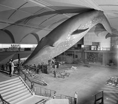 From the archives: Museum staff view the suspended blue whale model in the Milstein Hall of Ocean Life, February 1969    © AMNH Library/Image # 333998