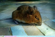 Napping mouse.