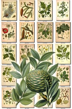 LEAVES GRASS-79 Collection of 362 vintage images vegetable