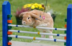 A Rabbit jumps over a hurdle at an obstacle course the 5th Open Rabbit Sport Tournament on August 28, 2011 in Rommerz, Germany. Eighty rabbits competed in light-weight, middle-weight and jumping-for-points categories at today's tournament that is based on Kanin Hop, or Rabbit Hopping. Rabbit Hopping is a growing trend among pet rabbit owners in Central Europe and the first European Championships are scheduled to be held later this year in Switzerland. (Ralph Orlowski/Getty Images)
