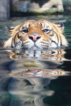 Tigers making faces while playing with water is my new favorite thing. - Imgur