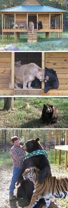 A lion, tiger, and bear raised together in the same enclosure at Noah's Ark Sanctuary in GA play ball, cuddle, and chase each other.