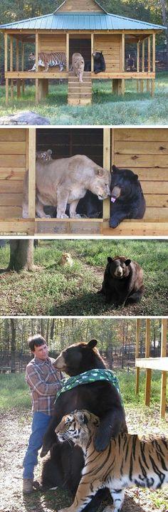 """Un lion, un tigre et un ours, élevés ensemble dans le même enclos dans le sanctuaire """"arche de Noé"""", jouent à la balle, et se font des câlins les uns aux autres."""