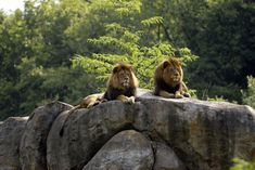 Big cats Lions Stones Two Animal lion