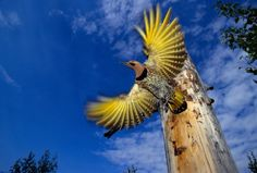 Picture of a northern flicker bird