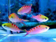 Tiger Queen Anthias -3 Saltwater Fish Tanks, Saltwater Aquarium, Aquarium Fish, Marine Fish Tanks, Marine Aquarium, Pretty Fish, Cute Fish, Underwater Creatures, Ocean Creatures