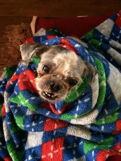 Nickie is an adoptable shih tzu searching for a forever family near Lexington, KY. Use Petfinder to find adoptable pets in your area. Animal Adoption, Pet Adoption, Want To Be Loved, Shih Tzu Dog, Helping The Homeless, Love Is Sweet, Snuggles, Searching