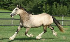buckskin - Shire mare Freedom's Jolie Prize [explanation in the source site]