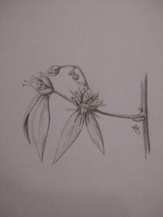 Botanical drawing 13/6/2016 Botanical Drawings, Leaf Tattoos