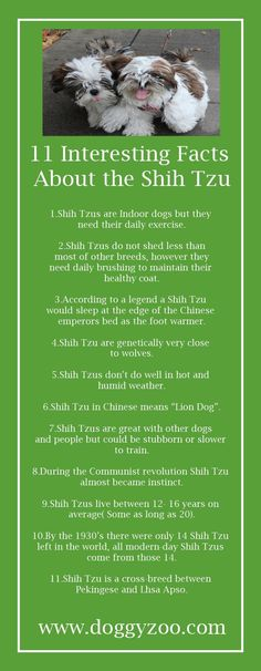 11 Interesting Facts about the Shih Tzu