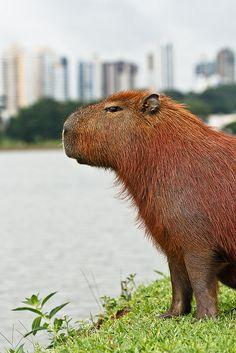 Hahahhahahahahah capybara
